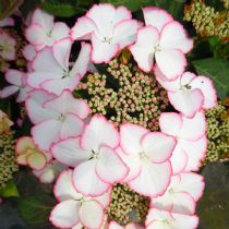 Hydrangea macrophylla Love You Kiss (PBR) (Hovaria Series) (L) AGM